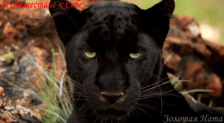 Пантера — сила тела и солнце.